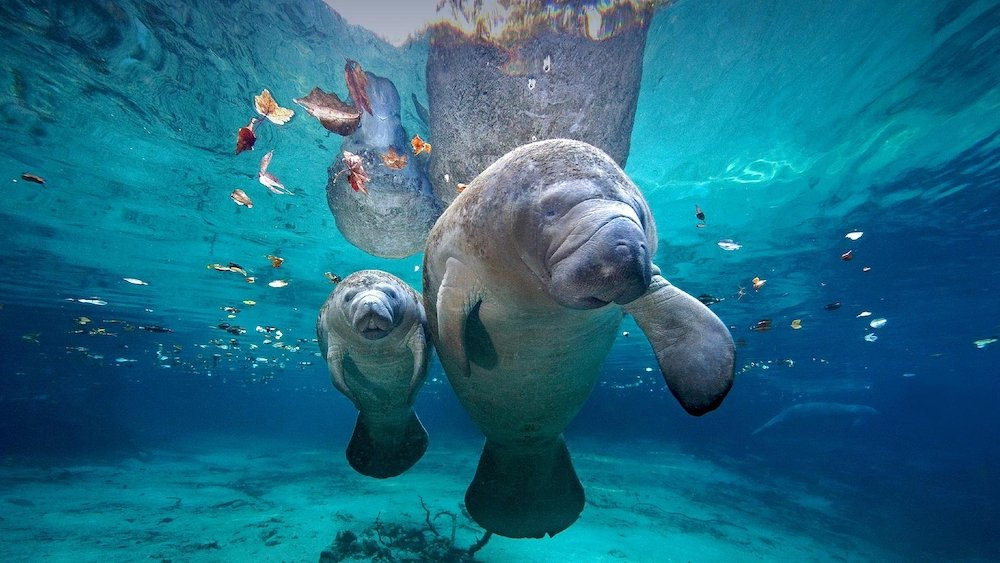 Boating with Manatees in Florida